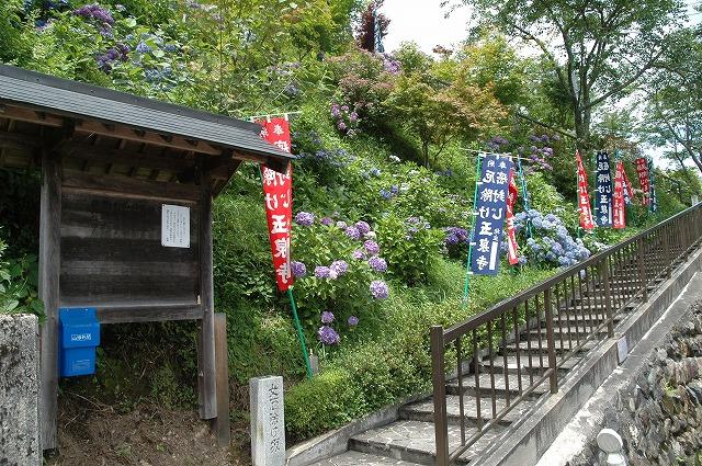 玉泉寺の紫陽花1