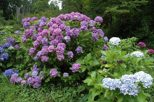 玉泉寺の紫陽花2