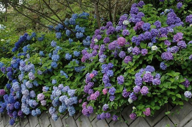 玉泉寺の紫陽花4