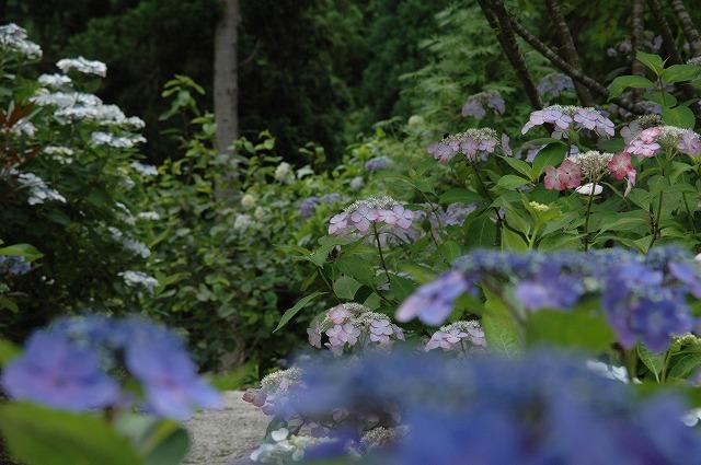 玉泉寺の紫陽花5