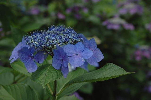 玉泉寺の紫陽花6