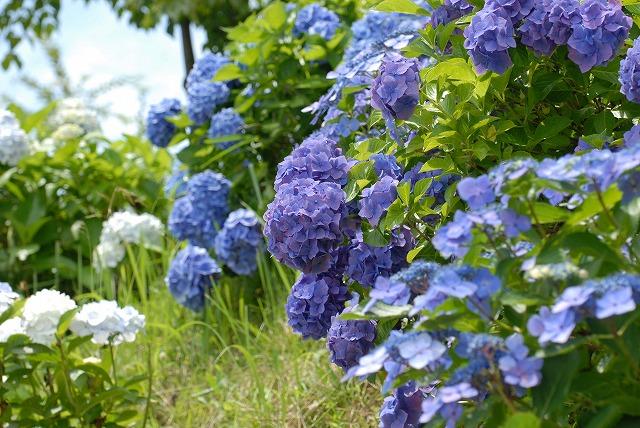 玉泉寺の紫陽花7