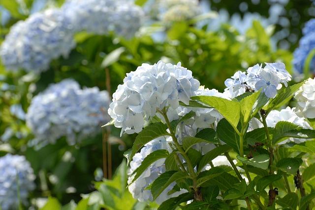 玉泉寺の紫陽花8