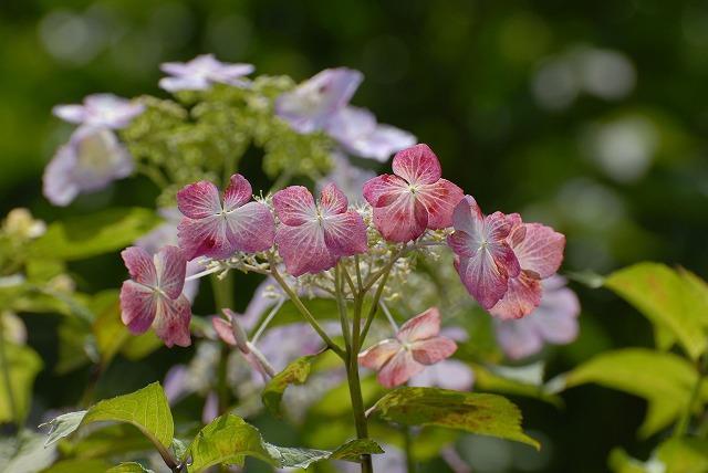 玉泉寺の紫陽花9
