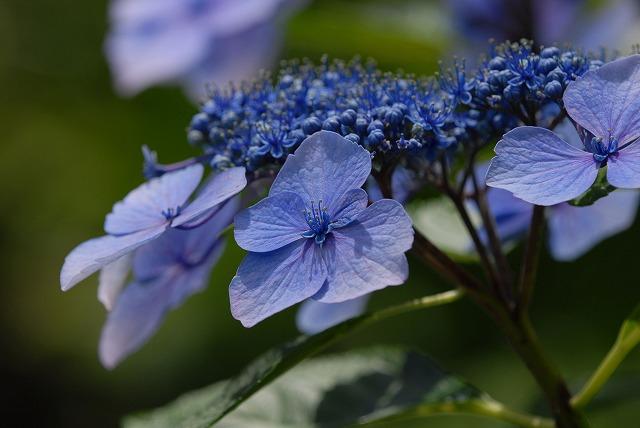 玉泉寺の紫陽花12
