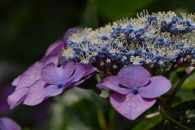 玉泉寺の紫陽花14