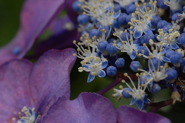 玉泉寺の紫陽花15