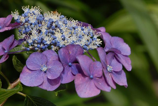 玉泉寺の紫陽花16