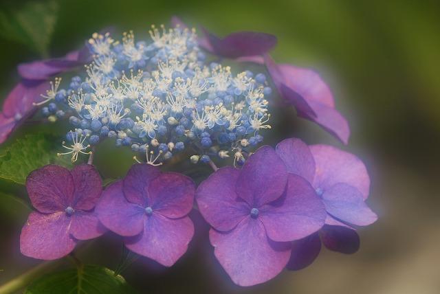 玉泉寺の紫陽花17