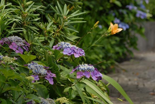 玉泉寺の紫陽花19