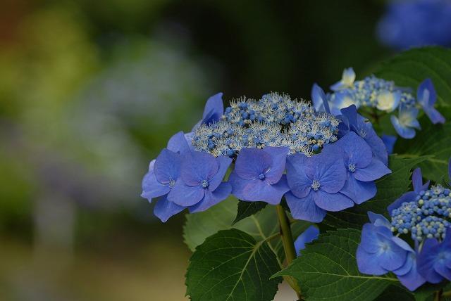 玉泉寺の紫陽花20