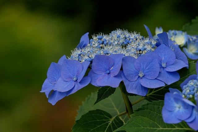 玉泉寺の紫陽花21