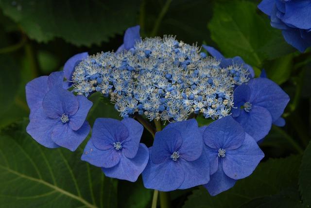 玉泉寺の紫陽花22