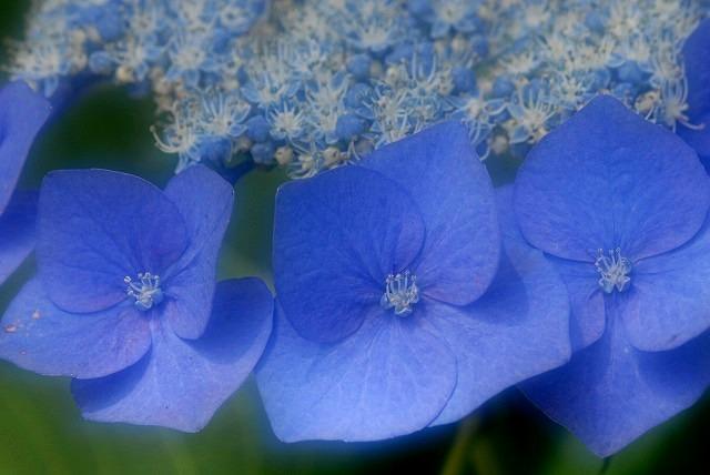 玉泉寺の紫陽花23