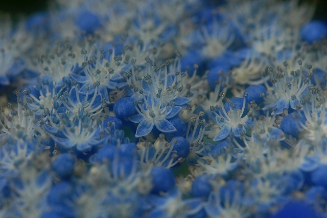 玉泉寺の紫陽花24