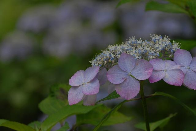 玉泉寺の紫陽花27
