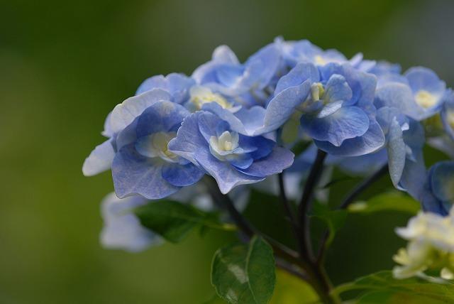 玉泉寺の紫陽花28