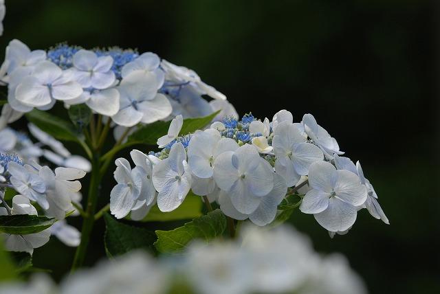 玉泉寺の紫陽花29