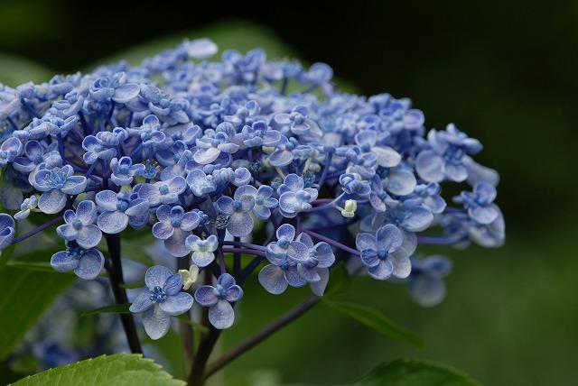 玉泉寺の紫陽花30