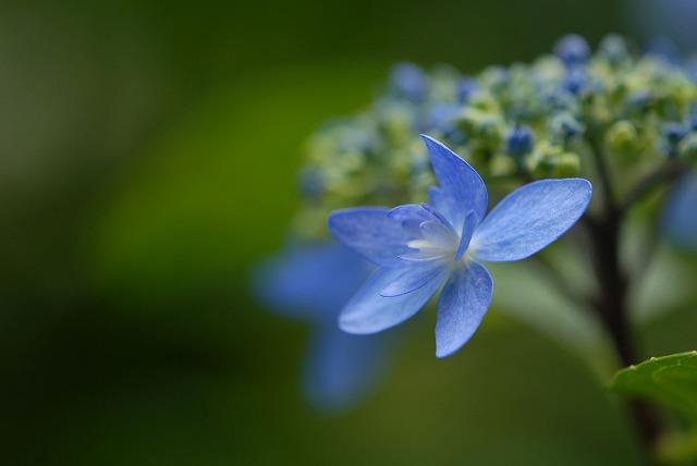 玉泉寺の紫陽花31
