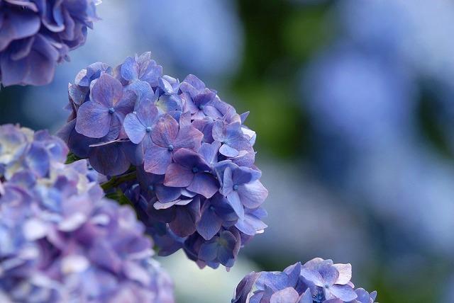 玉泉寺の紫陽花32