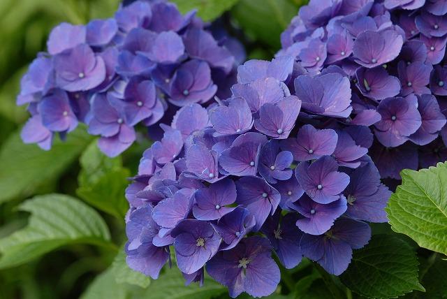 玉泉寺の紫陽花33