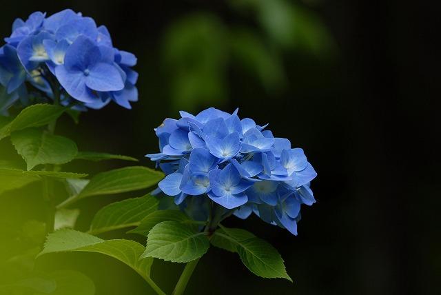 玉泉寺の紫陽花34