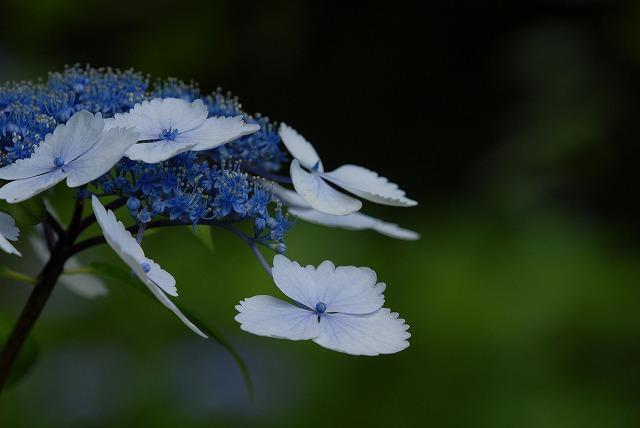 玉泉寺の紫陽花36