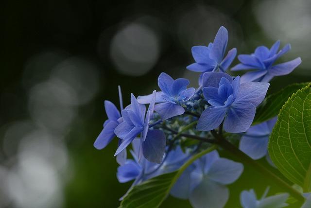 玉泉寺の紫陽花35