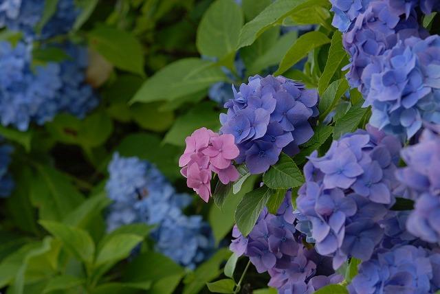 玉泉寺の紫陽花37
