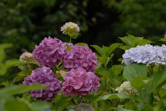 玉泉寺の紫陽花38
