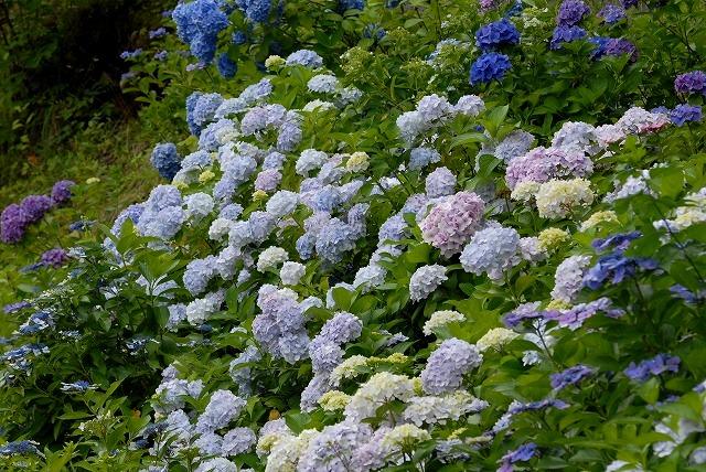 玉泉寺の紫陽花39