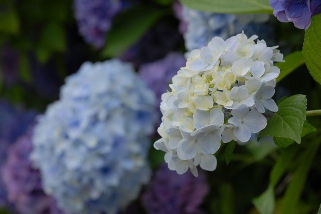 玉泉寺の紫陽花40