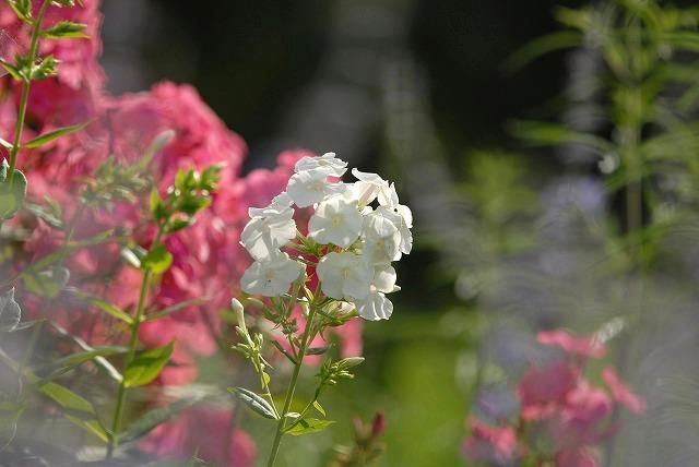 ハービルの花9