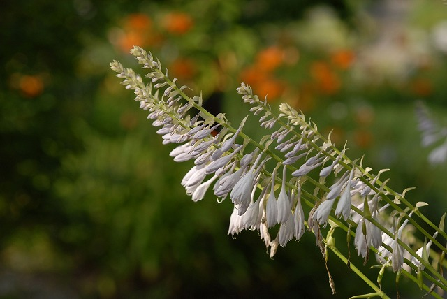 ハービルの花15