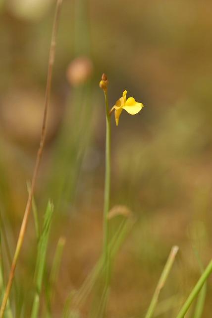 ミミカキ草1