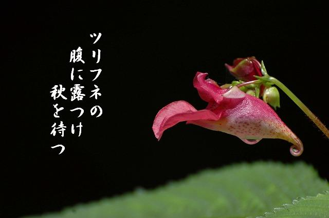 ツリフネ草2