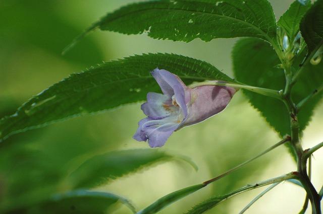 水色のツリフネ草1