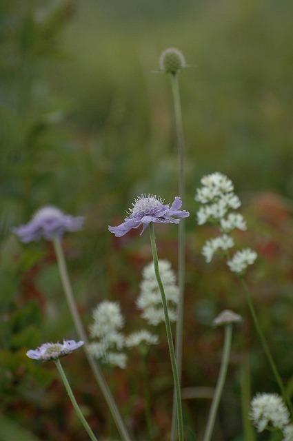 マツムシ草とイワショウブ2