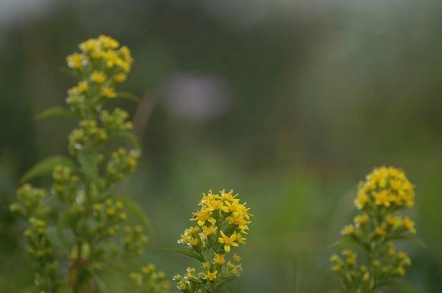 アキノキリン草1