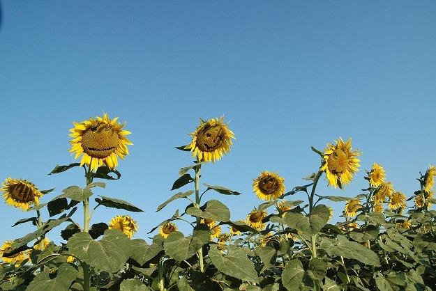 向日葵11