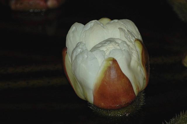 パラグアイオオオニバス8