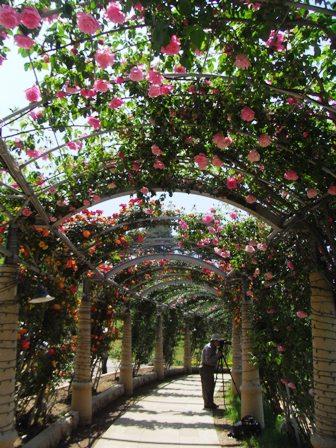 バラ回廊2