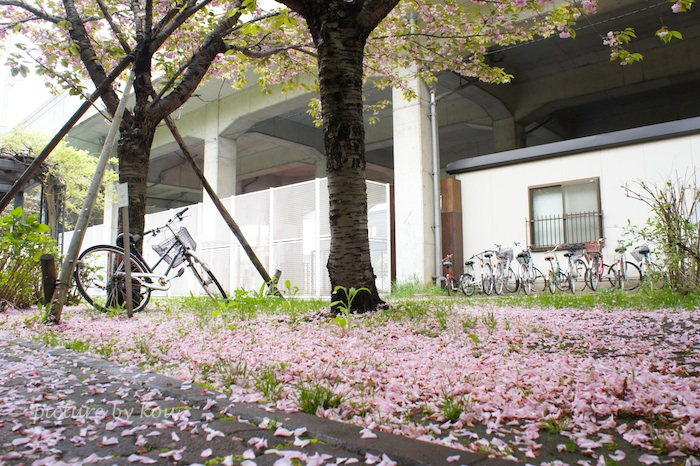 201105yaezakura.jpg