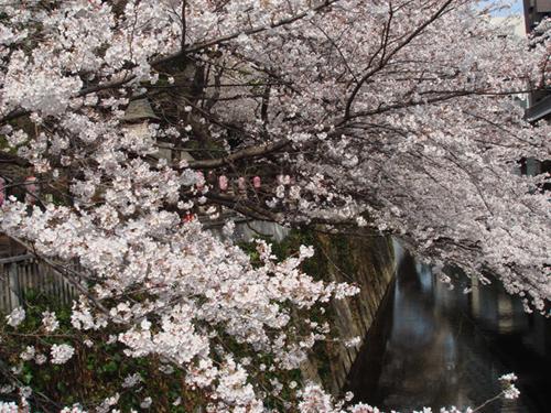 0327桜500