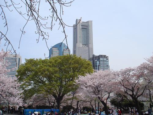 横浜桜2500