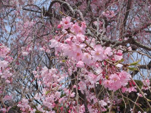 横浜桜3500