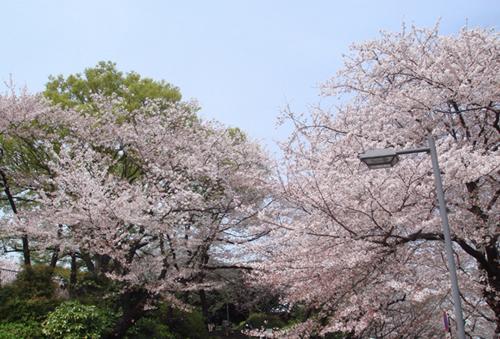 横浜桜500