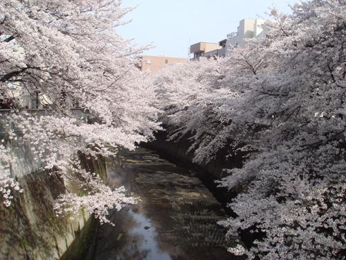 DSC02149桜4:5500