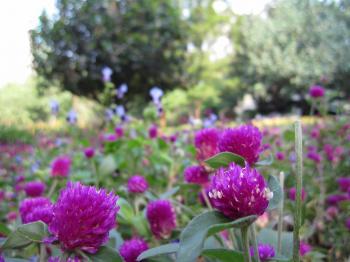 九龍公園花